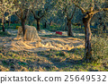 Olive trees plantation in harvesting time 25649532