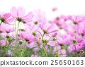 cosmos flowers isolated on white background 25650163