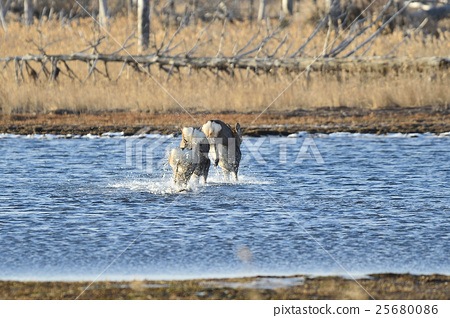 Ezoshika of Fen Lance Lake 25680086