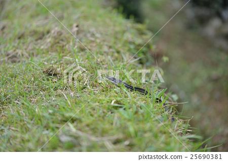 Kalas snake 25690381