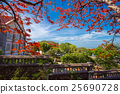 A Delonix Regia in red bloom in a park in VietNam 25690728