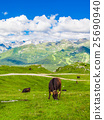 Cows grazing in the Alps 25690940