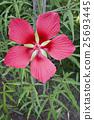 Scarlet rose mallow fower 25693445