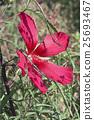 Scarlet rose mallow fower 25693467
