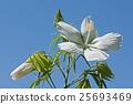Scarlet rose mallow fower 25693469