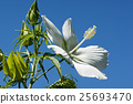 Scarlet rose mallow fower 25693470