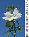 Scarlet rose mallow fower 25693471