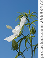 Scarlet rose mallow fower 25693472