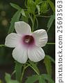 Roselle flower 25693563