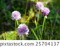 花朵 百合科 蝦夷蔥 25704137