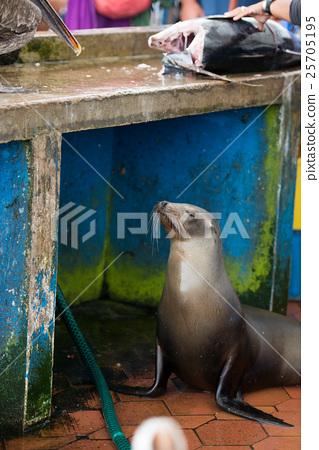 Seals of Galapagos fish market 25705195