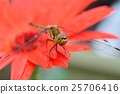 蜻蜓 非洲菊 大頭照 25706416