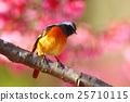 小鳥 歐卡米櫻花 櫻花 25710115