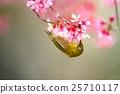 작은 새, 벚꽃, 동박새 25710117