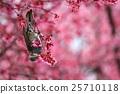 小鳥 歐卡米櫻花 櫻花 25710118