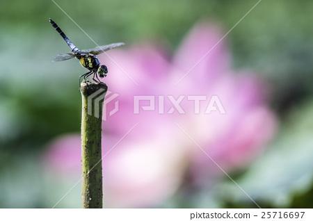 蜻蜓 25716697