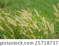 Close up Poaceae grass flower countryside  25718737