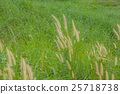 Close up Poaceae grass flower countryside  25718738