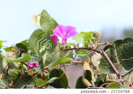 Flower of morning glory 25720788