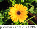 yellow gerbera 25731992