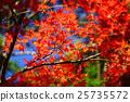 枫树 枫叶 红枫 25735572
