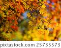 楓樹 紅楓 楓葉 25735573
