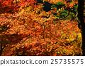 楓樹 紅楓 楓葉 25735575