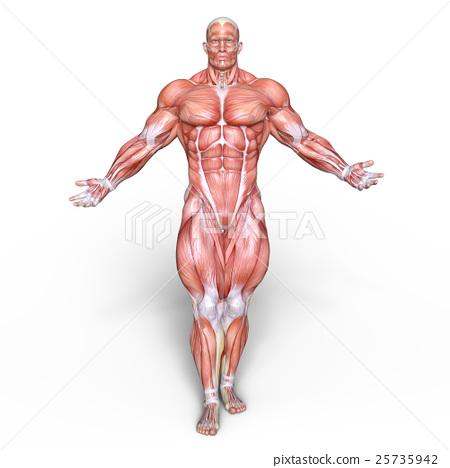 anatomy, human body, muscles - stock illustration [25735942] - pixta, Muscles