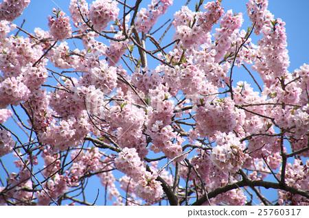 米澤的千歲櫻花(千歲櫻) 25760317
