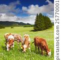 Grazing calves 25770001