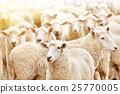 动物 牲畜 家畜 25770005