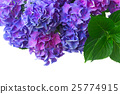 blue and violet hortensia flowers 25774915