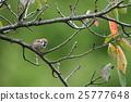 sparrow, small, bird 25777648