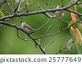 sparrow, cherry, blossom 25777649