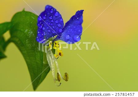 核桃蕨類植物 25781457