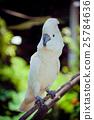 avian, bird, cockatoo 25784636