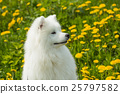 Cute Dog Samoyed puppy in profile on a background 25797582