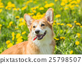 Welsh Corgi dog with funny muzzle green background 25798507