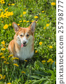 Young dog breed Welsh Corgi 25798777