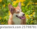 Smiling dog Welsh Corgi red color 25798781