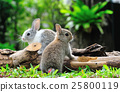 Two rabbits bunny in the garden 25800119