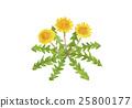 蒲公英 水彩画 花朵 25800177
