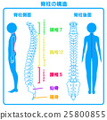 Structure of the spinal column (posterior aspect) 25800855