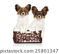 Papillon dog puppies in basket 25801347
