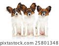 Papillon dog puppies 25801348