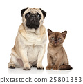 Kitten and dog together 25801383