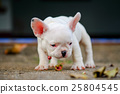 Young french bulldog playing on the cement floor. 25804545