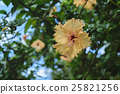 hibiscus, flower, flowers 25821256