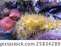 colorful coral reef and algae aquatic plants  25834289