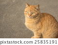 A neat domestic red cat outdoors 25835191